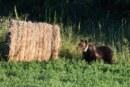 """Ordinanza n. 4 del 17/06/2021: """"Gestione degli orsi problematici e confidenti"""""""
